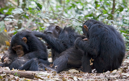 Guinea approves creation of largest sanctuary for the West African chimpanzee