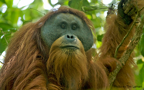 Discovery of a new great ape: The Tapanuli orangutan