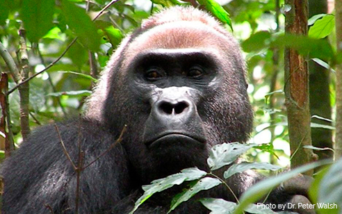 Vaccinating Wild Great Apes and The Ethics of Experimental Studies