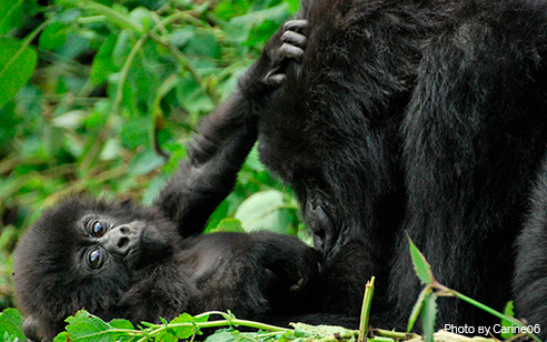 Number of mountain gorillas on the rise in the Virunga massif